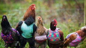 ChickenSweater2